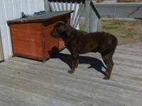 Looking for a home for our Male Akc chocolate Labrador