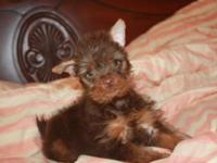 Chocolate male yorkie puppy available for a new home,
