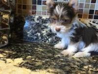 Akc chocolate Parti Yorkie Ready to go home Reduce for