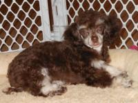 Adorable chocolate phantom poodle girl. Pictured here
