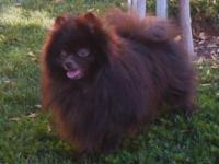 Choco is very sweet, friendly, loyal poms. He likes