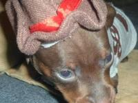 Skylar is a gorgeous little chocolate/rust male. He