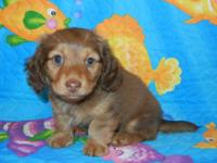 AKC Toy Dachshund Chocolate Shaded Cream male puppy
