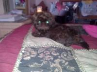 Male AKC Shih Tzu puppy. 13 wks. Will certainly be a