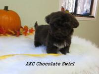 Born 8/24/13 AKC Rare Chocolate Shih-Tzu male Puppies,