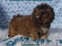 One Male and One Female AKC Chocolate Shih Tzus Puppies