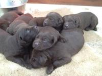 Taking deposits on a litter of all CHOCOLATE lab pups.