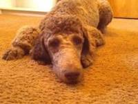 8 month old AKC Standard Poodle. Chocolate.
