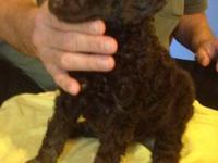 Kokomo is our chocolate female standard poodle, light