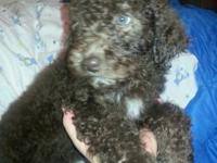 Male AKC chocolate standard poodle puppy. Born August