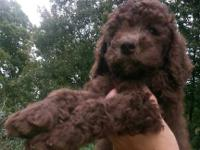 Very sweet female chocolate standard poodle puppy! This