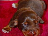 ~Zack~ is a chocolate/tan male miniature dachshund