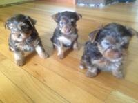 3 Female Yorkshire Terriers offered. AKC chocolate
