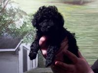 AKC chocolate toy poodle, 1 year old, upd on shots and