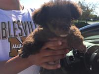 I have a male toy poodle his current weight is 3 to 4