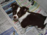 AKC Male Longcoat Chihuahua young puppy. Chocolate and