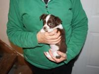 AKC Male Longcoat Chihuahua puppy. Chocolate and white.