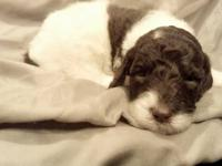 AKC chocolate & white parti standard poodle puppies