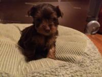 Available. 1 Male 1 Female Chocolate Yorkie. AKC upon