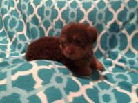 AKC Chocolate Yorkie. He is a precious baby full of