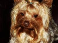 I have a male yorkie who will soon be two years old. I