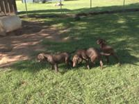 AKC chocolate labs, started duck dogs, retrieve