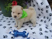 AKC Chow Chow Puppies born 6-29 and will be available