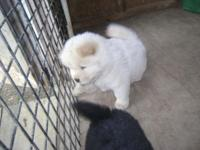 CHOW CHOW puppy/s for sale akc reg. they are raised in