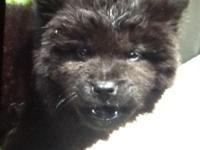 2 black female chow chow puppies for sale in lock