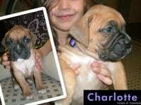 CHRISTMAS BOXER PUPPIES. We have 8 beautiful AKC