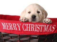 Sign up for a Christmas Lab puppy!! Gorgeous, a sweet,