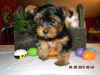 This little Guy is so precious . He has Black/Tan