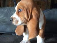 LOTS OF LOVE TO SHARE akc-ckc basset puppies red/white