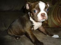 AKC & & CKC Boston Terrier young puppies. This litter