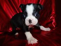 AKC & & CKC Boston Terrier puppies. We are now