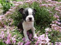 AKC & CKC Boston Terrier puppies. We are now accepting