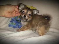 AKC/CKC registered male chihuahua puppies charting in 4
