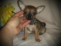 AKC/CKC registered male chihuahua puppy charting in 3
