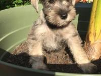 AKC & CKC Miniature Schnauzer puppies...ONE male (FIRST