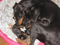 I HAVE 3 FEMALE AKC/CKC REGISTERED BLACK AND RUST
