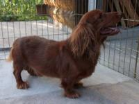 Seven year old male long hair purebred standard