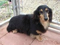 Eight year old female long hair purebred dachshund has