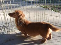 Eight year old male long hair purebred dachshund has