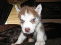 We have 2 female AKC & CKC dual registered Siberian