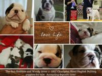 AKC ENGLISH BULLDOGS PUPPIES - HALL OF FAME CHAMPION