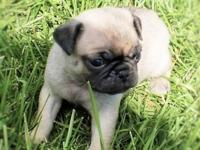 Beautiful Fawn female pug puppy Born May 5th is