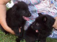 AKC & CKC REGISTERED GERMAN SHEPHERD PUPPIES, READY FOR