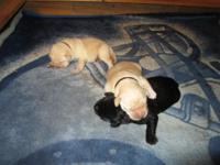 West Side Labradors is a small hobby kennel in West