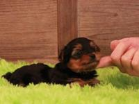 Tiny Teacup Yorkies males & females. They are 11 weeks