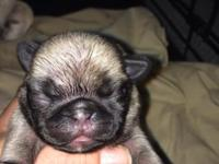 Akc/Ckc Mini pug puppies! 3 girls and 2 boys. Mom is